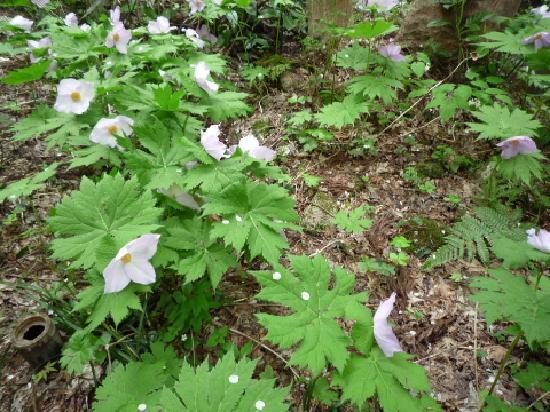 Kansuiro: お庭には山野草もたくさん咲いてました。