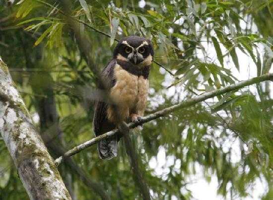Pacoche, Equador: Spectacle Owl