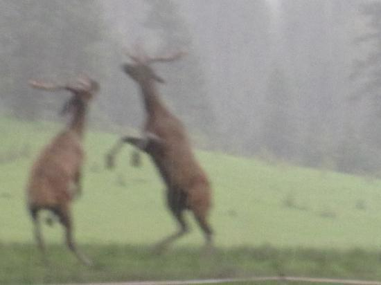 LocKey U Outfitters: watching the elk spar at the Historic Gilmore Ranch