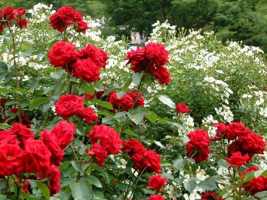 Hana Festa Memorial Park: 園内はバラがいっぱい