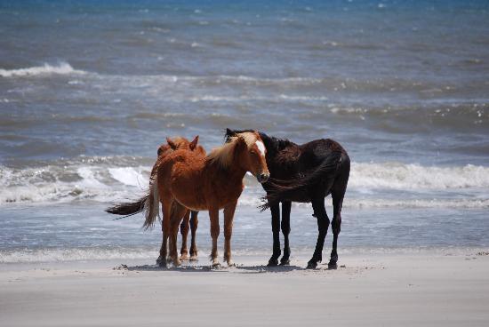 Corolla, NC: Wild ponies