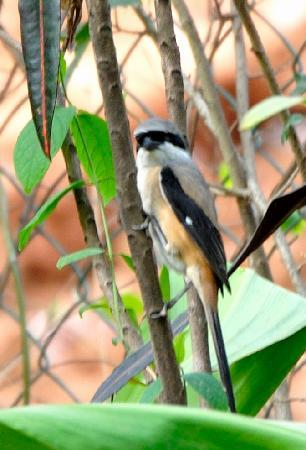 Lion's Den Hotel: Long Tailed Shrike, in the resort garden