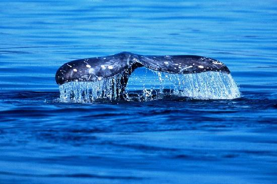 Everett, Ουάσιγκτον: Gray Whales in our backyard! (credit Bart Rulon)