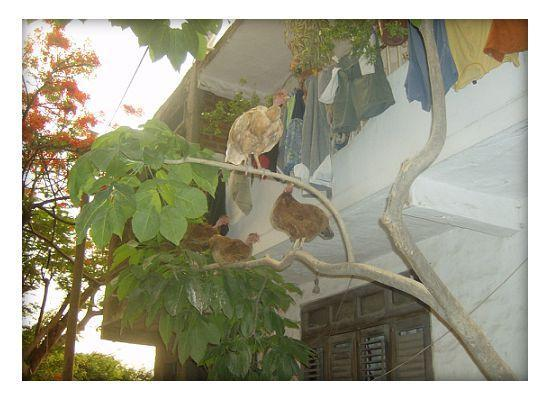 Villas Dos Primos: local chickens down the block