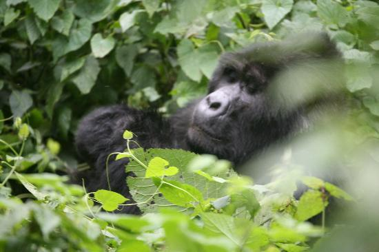 Bwindi Impenetrable National Park: another silverback eating his leaves