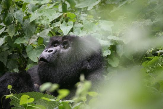 Bwindi Impenetrable National Park: this silverback is calling to his mates or laughing at us as he had just pushed someone over!