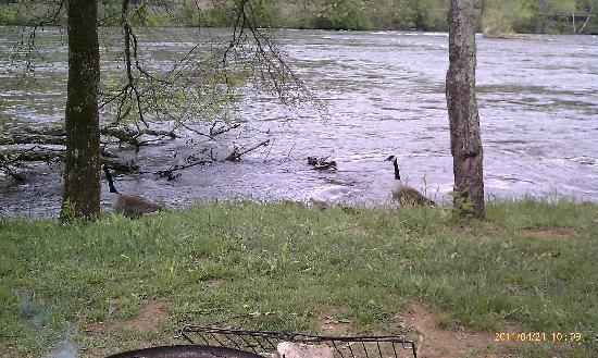 French Broad River Campground: Goose with kids in tow walking past our campsite