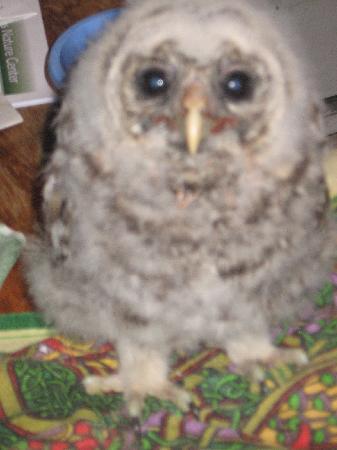Denison Pequotsepos Nature Center: Barred Owlet