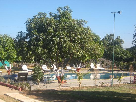 Club Mahindra Gir Resort: A mango tree near the pool