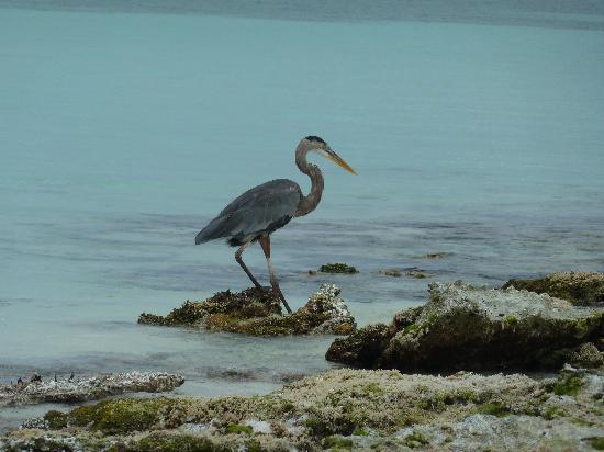 Isla El Gran Roque, Venezuela: airone