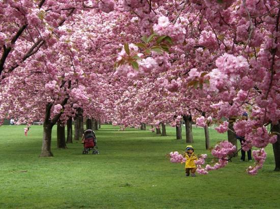 Cherry blossom festival picture of brooklyn botanic - Brooklyn botanical garden admission ...