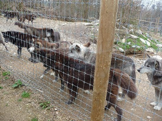 Wolf Sanctuary of PA: Meeting the pack.