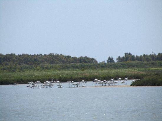 Penisola del Sinis - Isola di Mal di Ventre: Flamingos