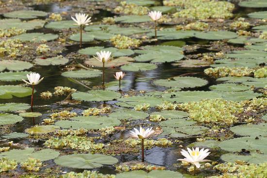 Uga Ulagalla: Lily-pond