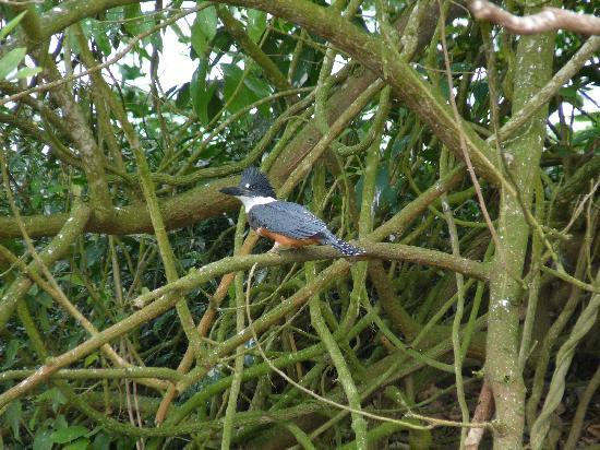 Cano Negro, Κόστα Ρίκα: Eine der sechs Eisvogelarten im Park