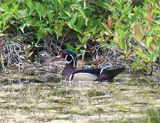 Six Mile Cypress Slough Preserve: Wood duck pair