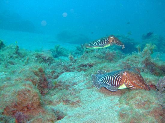 Safari Diving Lanzarote: Cutlle fish