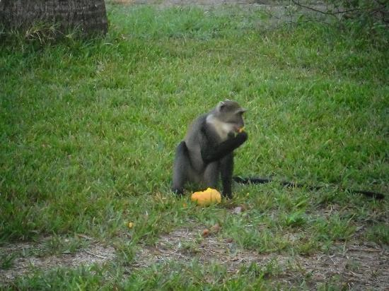 Diani Sea Resort: Monkeys in the grounds