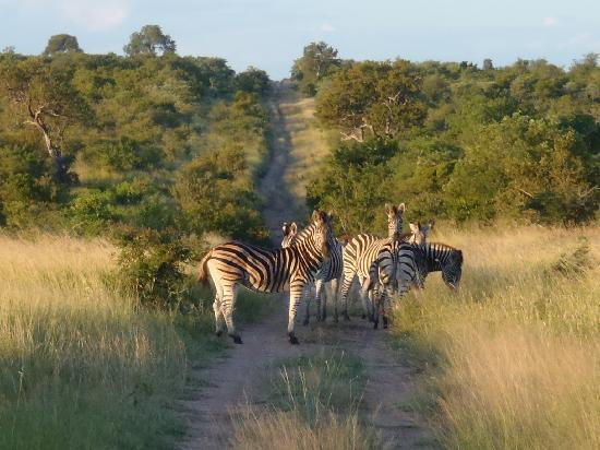 Imbali Safari Lodge: Zebra crossing ;-)