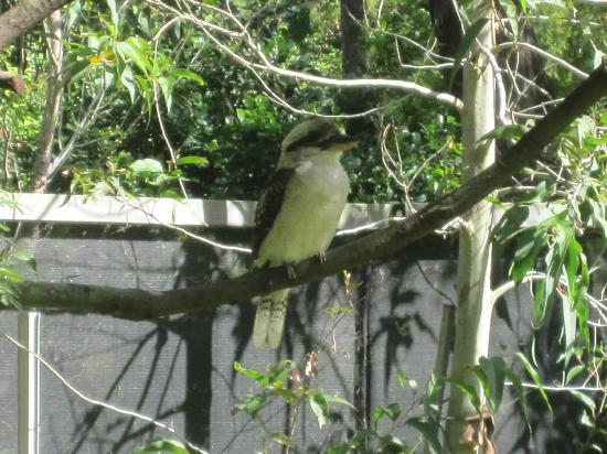 Wanderers Retreat: Kookaburra outside our Treehouse