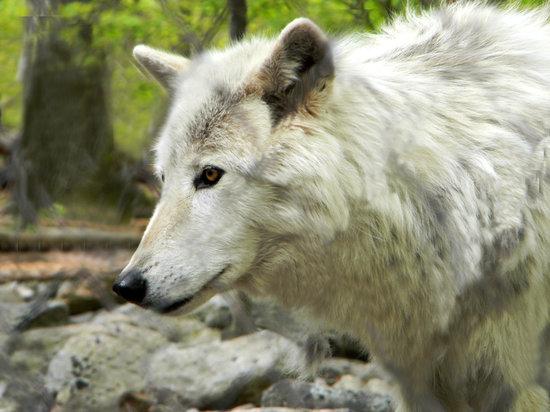 Lakota Wolf Preserve: Artic Wolf