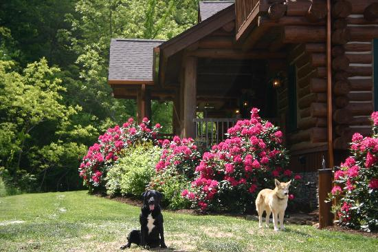 Wildberry Lodge: Spring time at Wildberry - mountain laurel
