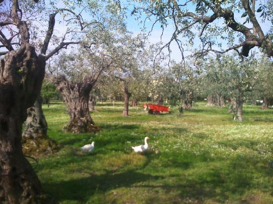 Studios Zafira: The resort is full of country lanes with olive tree orchards that are home to geese, ponies, goa