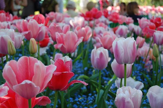 Casa e giardini di Claude Monet: Tulips galore when I went