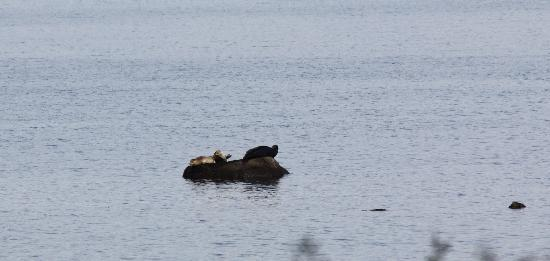 Courtenay, Canada: Seal Mom with pups 5/9/2011