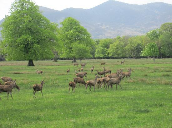 The Killarney Park Hotel: Killarney National Park Deer