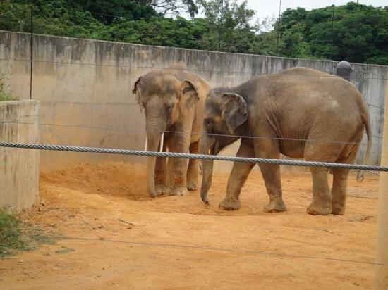 Okinawa Kodomonokuni: Indian Elephants