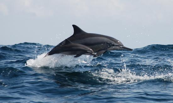 Bali Jet Set Dive and Marine Sports : Dolphin watching tours.