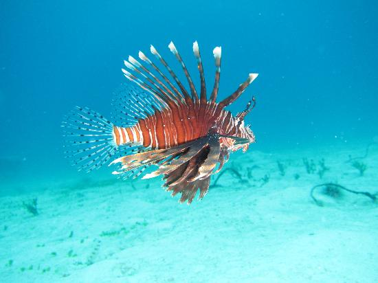 Evolution Diving : House Reef Lion Fish