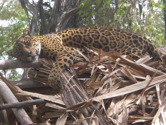 Tucupita, Venezuela: Panthera