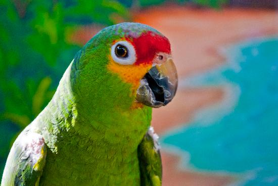 Parrotside, West Bay Lodge, Roatan