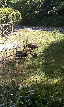 Channel Bass Inn: Baby ducks in the tea garden