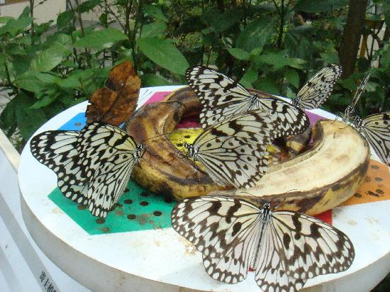 Butterfly Snack On The Banana Picture Of Taipei Zoo Wenshan