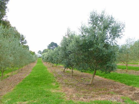 Green Olive at Red Hill: Olive trees
