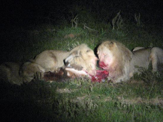 Schotia Safaris Private Game Reserve: Beim Lion-Kill live dabei