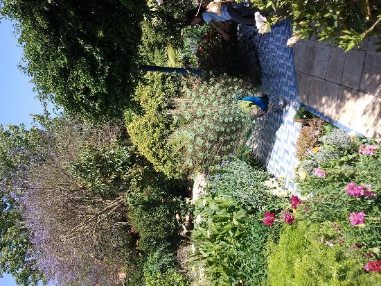 Villa Mandarine: un jacaranda, un enfant et un paon