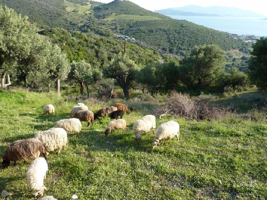 Marmari, Hellas: Sheep