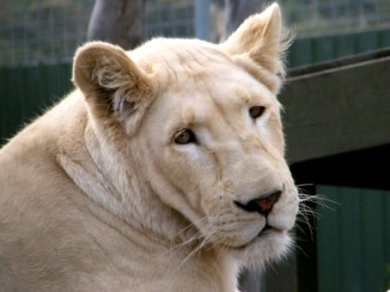 Richmond, Australia: White lion