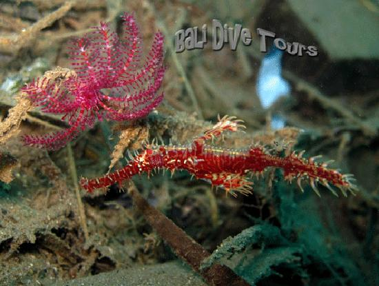 Bali Dive Tours: Ornate Ghost Pipefish