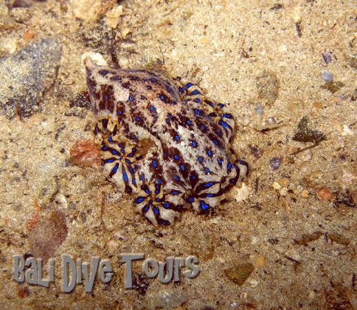 Bali Dive Tours: Blue Ring Octopus