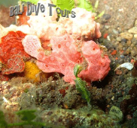 Bali Dive Tours: Frog Fish