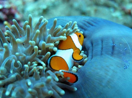 Manta Dive : Mr. Clownfish Nemo