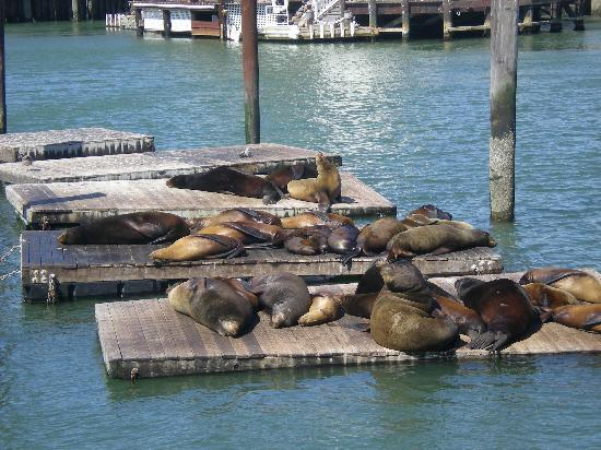 San Francisco, Kaliforniya: Seals at Pier 39