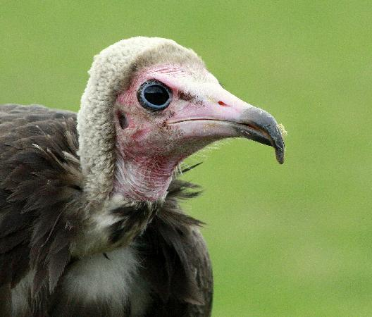 """Judge"" Bently the hooded vulture"