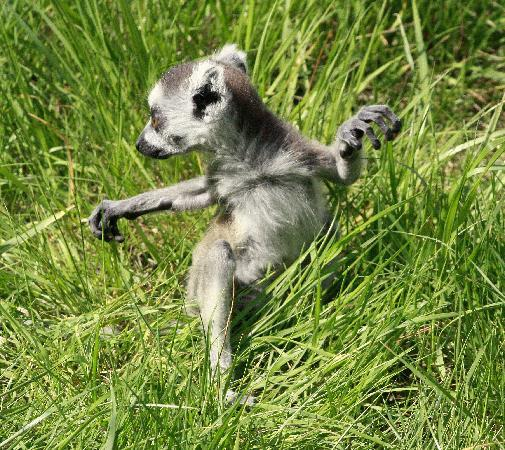 Baby lemur-where's me Mam?