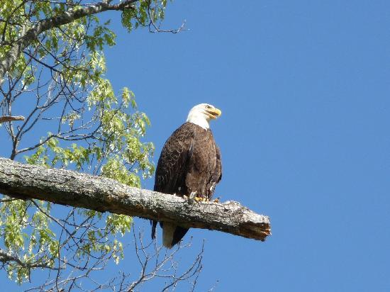 Fort Donelson National Battlefield Bald Eagles No This Is Not A Postcard